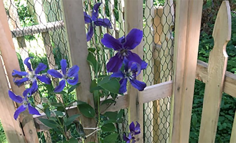 purple flowers on a wooden fence